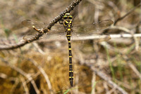 Golden Ringed Dragonfly (C. boltonii) Wales