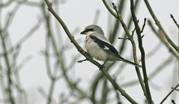 Great grey Shrike LLysyfran Pembs