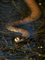 Grass Snake - Vale of Glamorgan - Wales